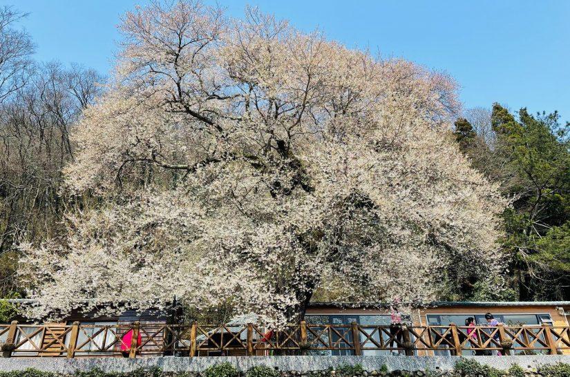 櫻花季來了!觀霧「霧社櫻王」已綻放6成!未來2週是最佳賞櫻期