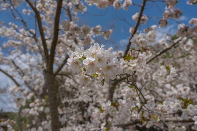 最後櫻花潮快跟上! 台灣最高「福壽山農場」櫻花園,千棵櫻花綻放至4月